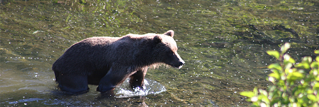 bear wading in water